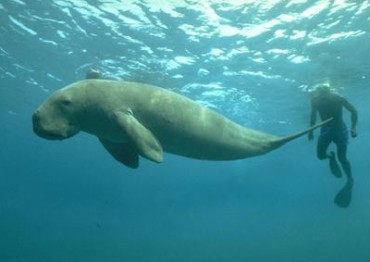 The Internet of Dugongs