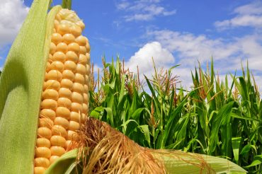 Artificial Intelligence Predicts Corn Yield Rates